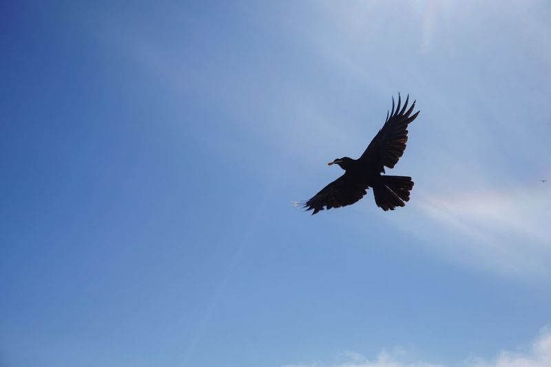 Bird Wing Flying Low Angle View Sky Spread Wings Animal Wildlife Blue Animals In The Wild Nature Silhouette No People Outdoors