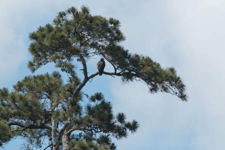 Eagle in Pine Tree Eagle Nature Tree Animals In The Wild Beauty In Nature Branch Cloud - Sky Coniferous Tree Day Green Color Growth Idyllic Low Angle View Nature No People Non-urban Scene One Animal Outdoors Plant Scenics - Nature Sky Tranquil Scene Tranquility Tree