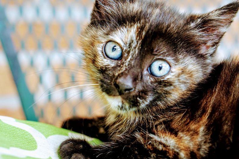 Portrait Pets Domestic Cat Looking At Camera Close-up Feline Kitten Tabby