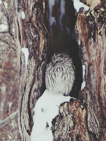 フクロウ エゾフクロウ Japan Hokkaido Oonuma Park 北海道 大沼国定公園 Olympus OlympusPEN オリンパス ミラーレス ミラーレス一眼 ミラーレス一眼カメラ