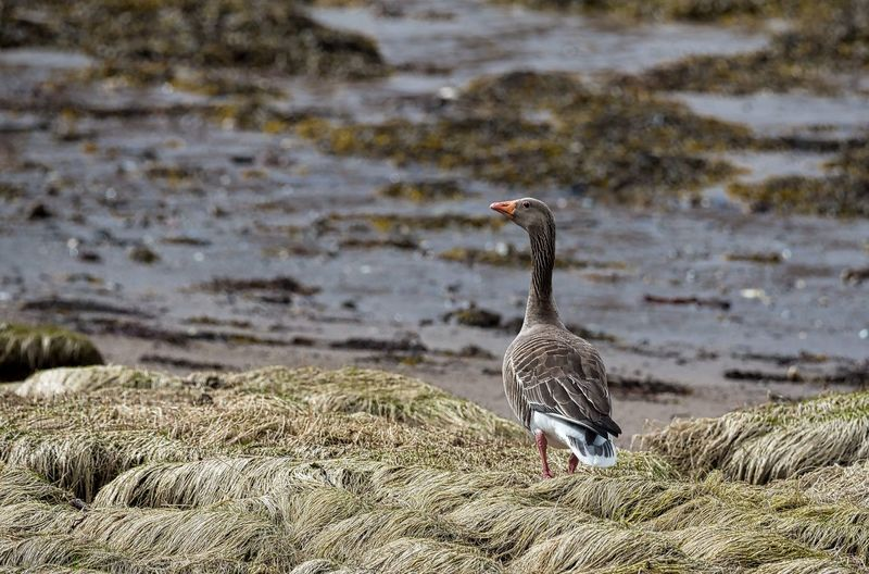 Migrant Bird Bird Photography On The Ground🍂 Day Daylight No People Pink Footed Goose Rocky Foreshore Sea Shore Goose