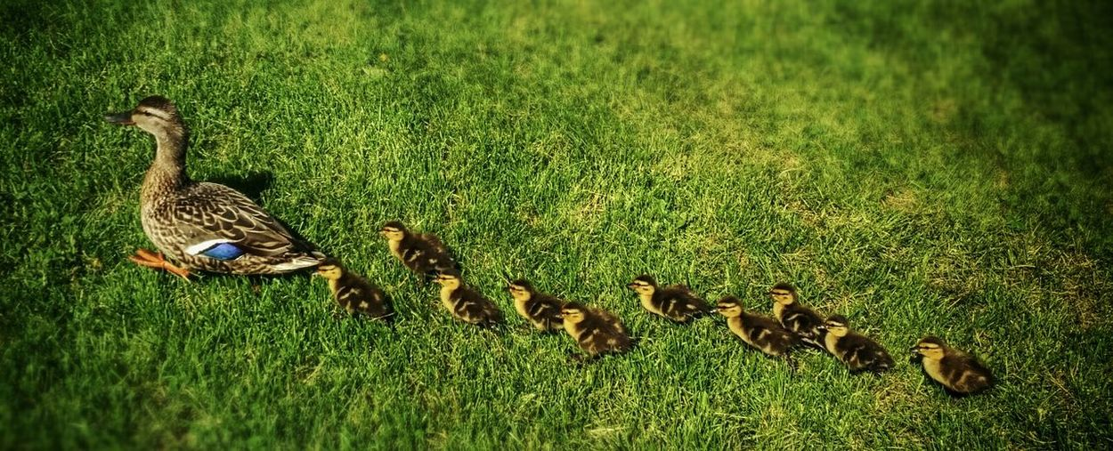 Ducks Cute Animals Nature Photography EyeEm Birds