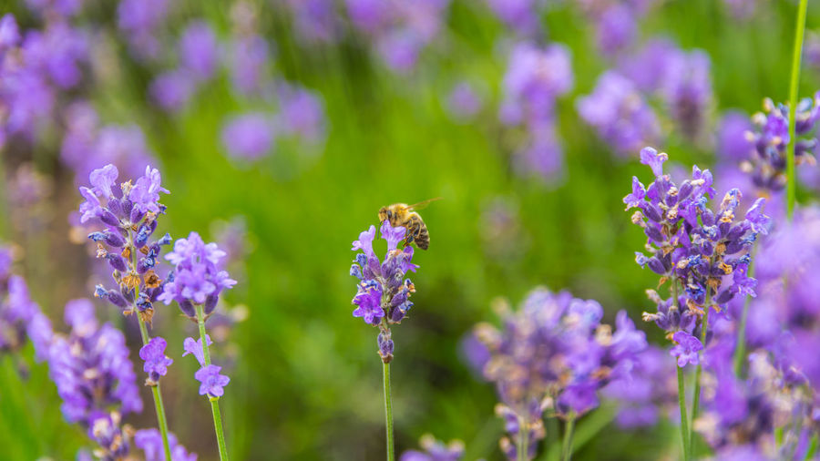 Bee pollinating on purple flowers