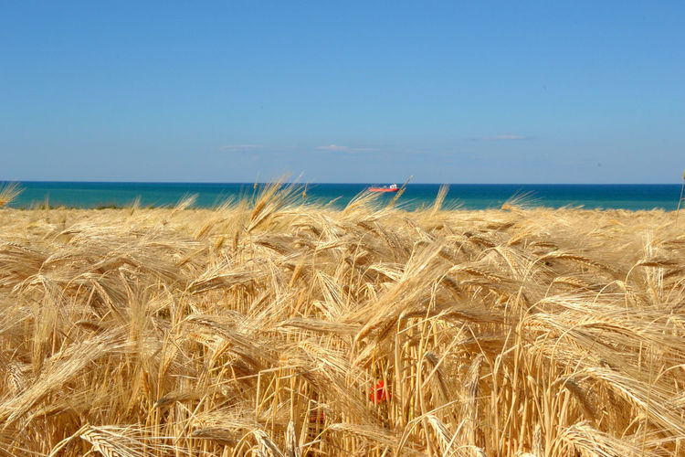 scenic view of grain and sea against clear sky