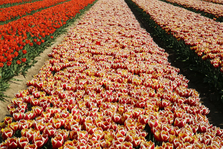 High angle view of red tulips on field