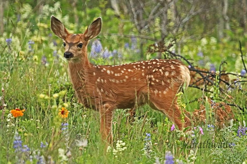 Fawn Wildlife & Nature Wildflowers Wildlife Photography Baby Lovelovelove Baby Animal Colour Of Life