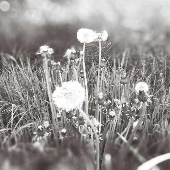 Flower Nature Dandelion Flowers