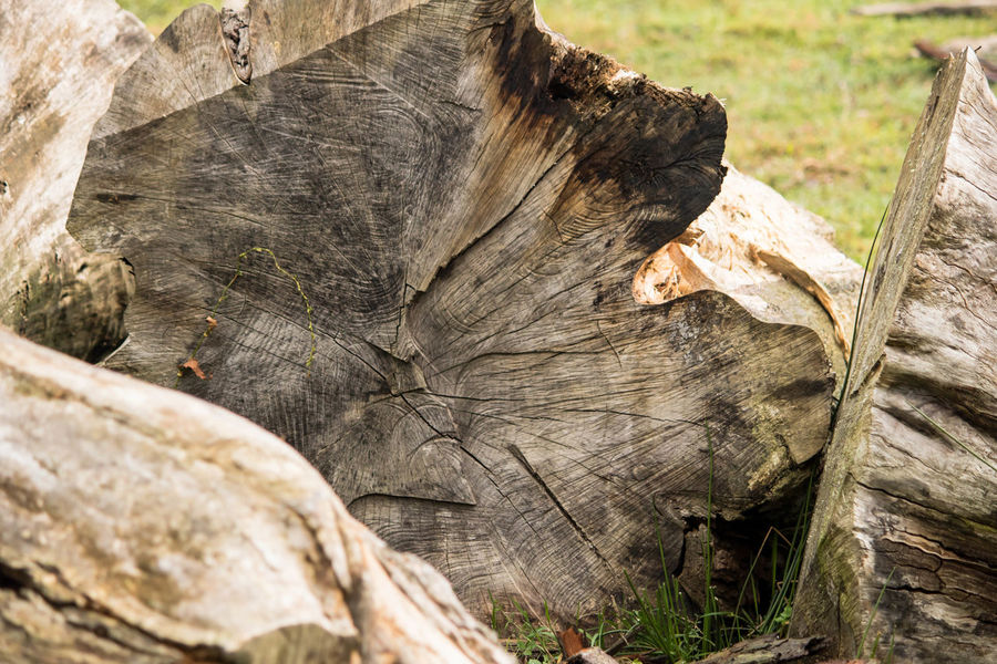 Nature No People Close-up Day Deforestation Outdoors Leaf Textured  Tree Stump Tree Ring Animal Themes