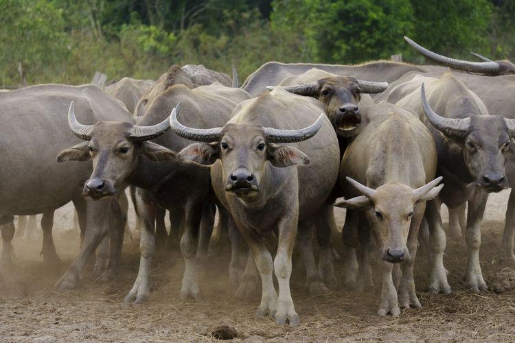 Herd of buffalo outdoors