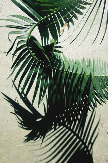 Palm frond . Palm Shadow Light Play Light And Shadow Frond