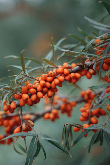 Orange berries on a tree against green background. autumn nature