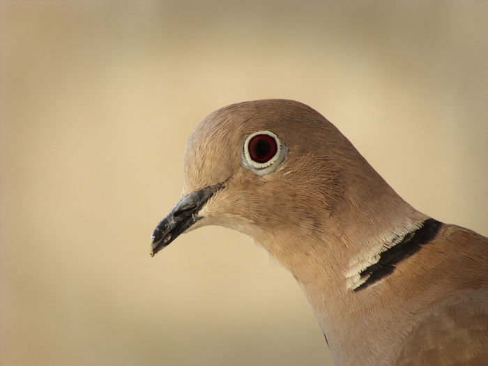 Close-up of mourning dove