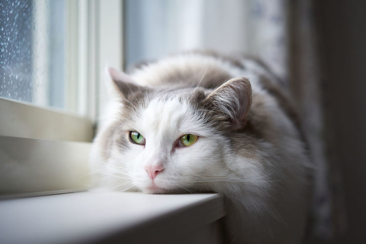 White cat lying down by window on rainy day