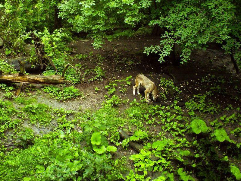 Hello Wolf Animals Skansen Call Of The Wild