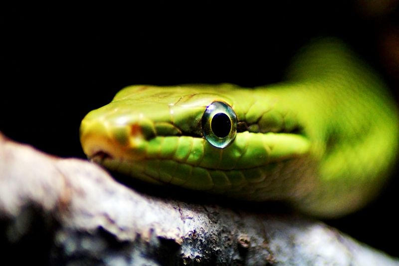 green snake Animal Close Up Close-up Green Snake Schlange  Schlangenkop Snake Snake Snake Head Wildlife Zoology