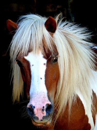 Animal Themes Beauty Black Background Close-up Day Domestic Animals Horse Livestock Mammal Mane Nature No People One Animal Outdoors Ponies