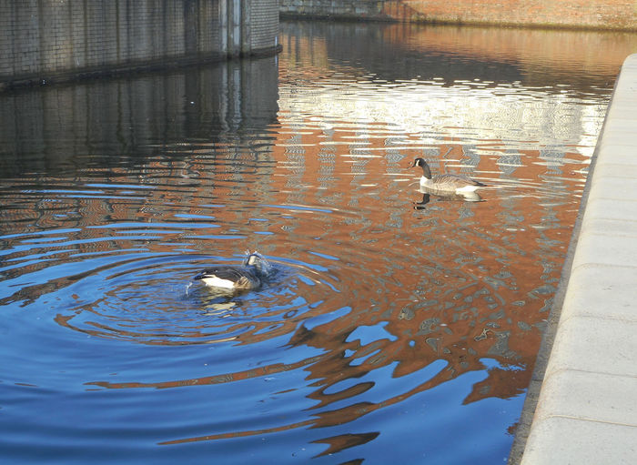 Manchester canal, UK. Bird Canal Geese Manchester Canal Reflection Relaxing Moments Rippled Shiny Swimming Two Animals Water Waterfront Wildlife