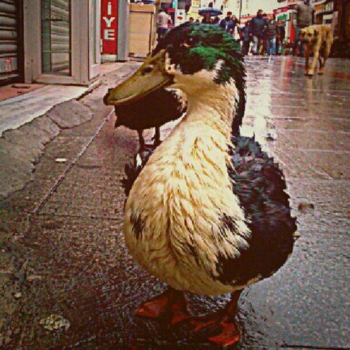 Duck Ordek Animal Streetanimal Instagram Instadaily Instaday