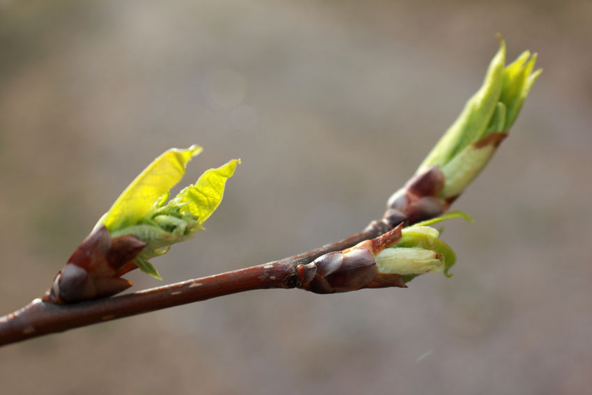 Spring is coming! Branch Close-up Day Kevät Leaf Nature New No People Outdoors Silmu Spring Sprout Verso Young