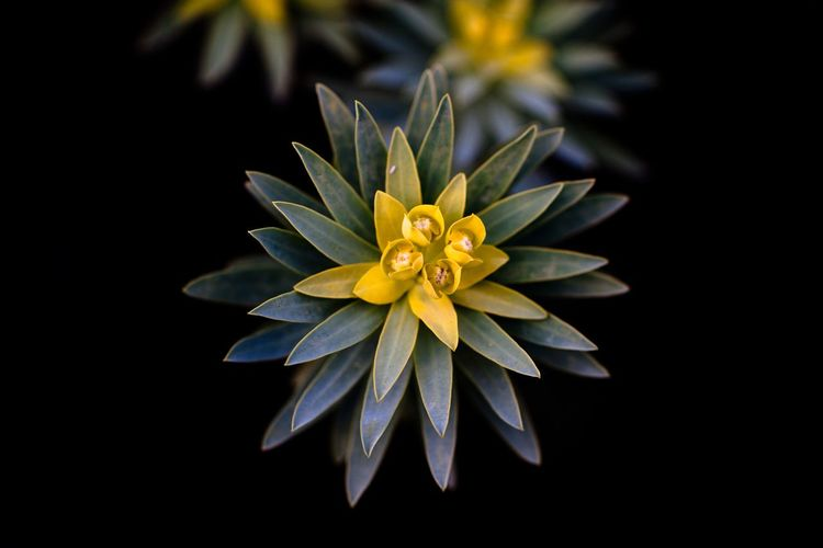 Plant on the Paxos island, south of Corfu, in Greece. Flowering Plant Flower Freshness Yellow Plant Vulnerability  Inflorescence Flower Head Beauty In Nature Fragility Petal Close-up Growth Black Background Nature No People Pollen Focus On Foreground Close Up
