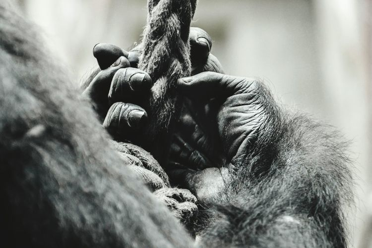 Gorilla Hands Animal ThemesTakeoverContrast One Animal Animals In The Wild Close-up Animal Head  Selective Focus Focus On Foreground Mammal Zoology Outdoors No People