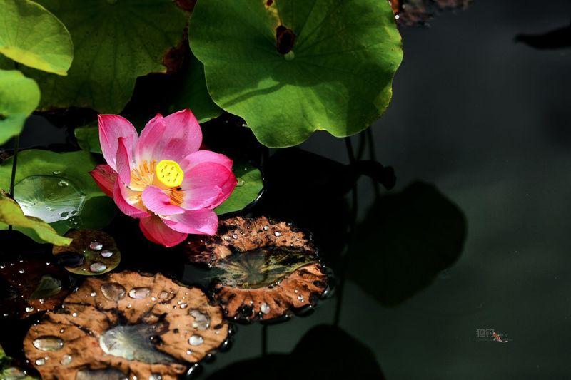 夏荷 Plant Flower