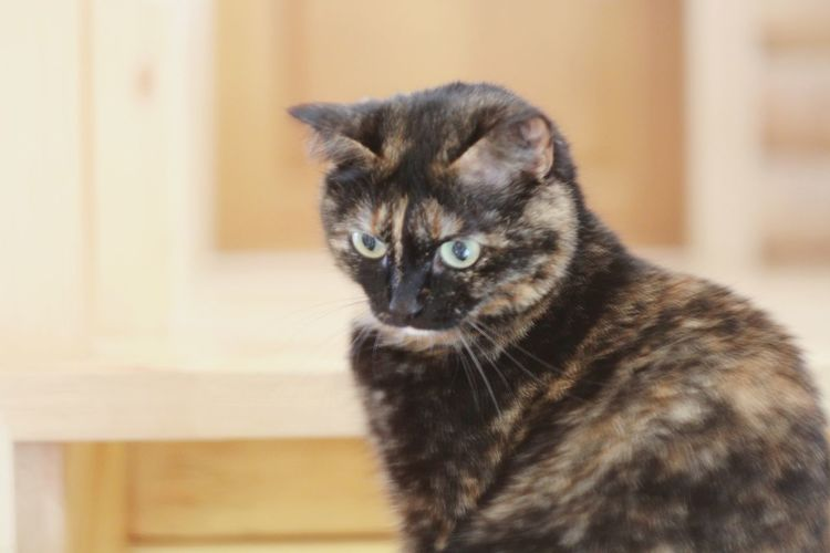 One Animal Animal Themes Pets Domestic Animals Domestic Cat Indoors  Close-up Cat Mammal Whisker Feline Animal Head  Focus On Foreground No People Cat Of The Day