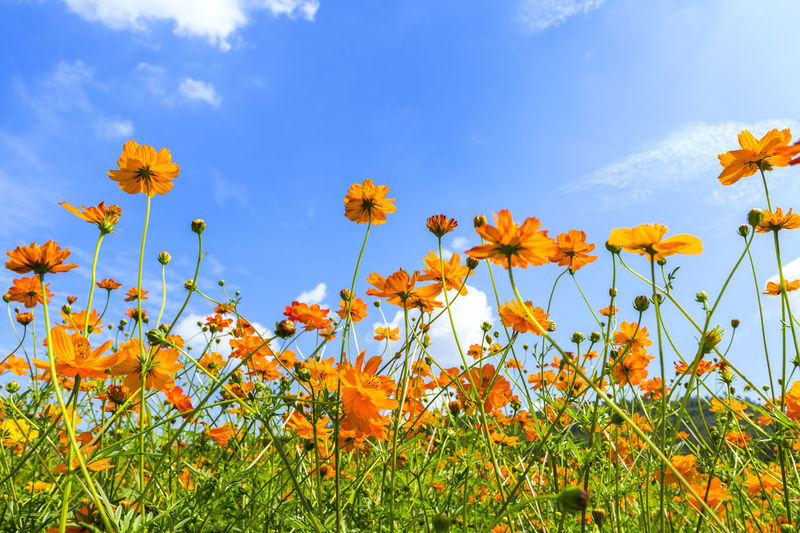 Sulfur cosmos flower in blue sky on a clear day Sulfur Cosmos Yellow Cosmos Beauty In Nature Blue Sky Blue Sky And Clouds Cloud - Sky Field Flower Flower Collection Flower Head Flower Photography Flowering Plant Fragility Freshness Growth Inflorescence Land Nature Orange Color Petal Plant Sky Springtime Sulfur Cosmos Vulnerability  Yellow
