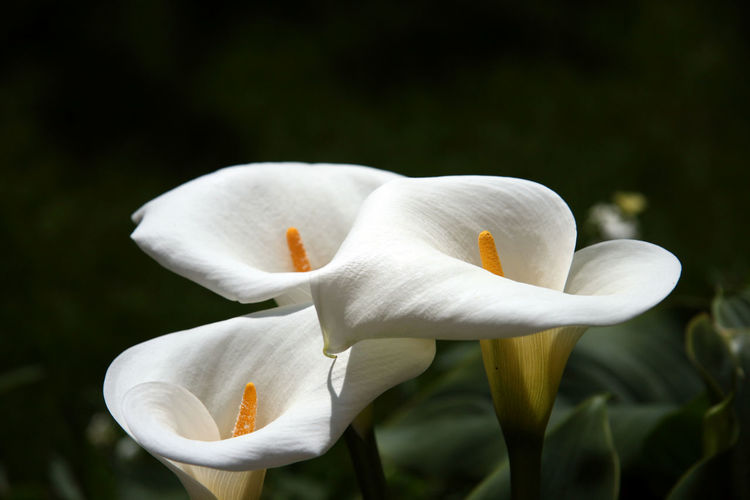 Beauty In Nature Blooming Calla Close Up Close Up Flower Close Up Flowers Close Up Nature Close-up EyeEm Flower EyeEm Nature Lover Flower Flower Collection Flower Head Flowers Fragility Freshness Nature No People Outdoors Plant White White Color White Flower Zantedeschia EyeEmNewHere