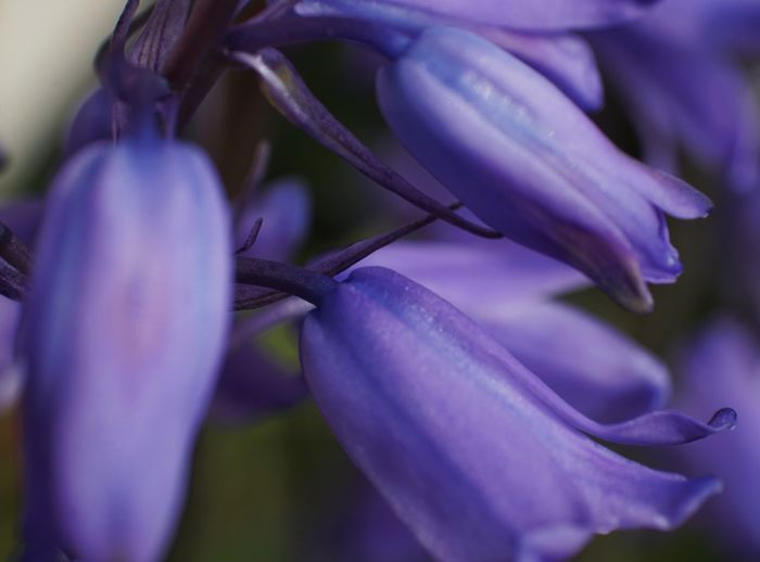 Almost half the world's bluebells are found in the UK and they're relatively rare in the rest of the world. Macro Photography Macro Bluebells Flower Head Flower Petal Purple Pink Color Close-up Plant Flowering Plant Plant Life In Bloom