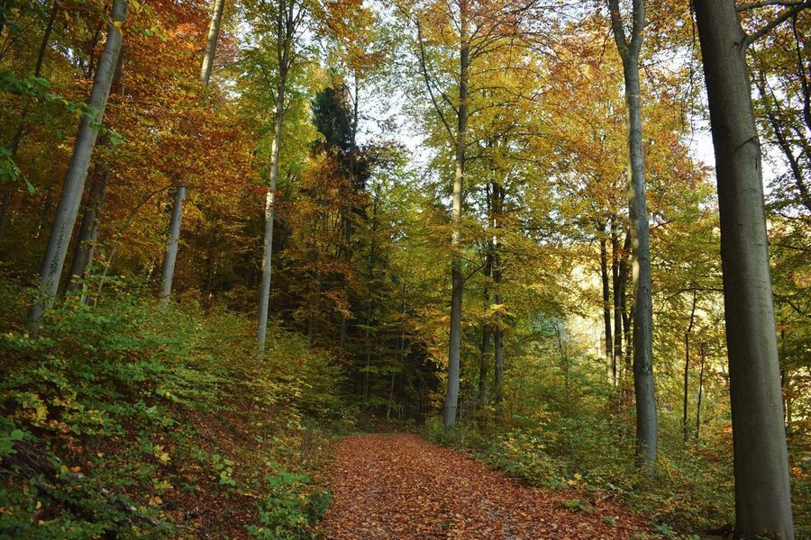 Beech forest Forest Beech Autumn Forest Tree Leaf Nature Change Scenics WoodLand Beauty In Nature Outdoors No People Plant Branch
