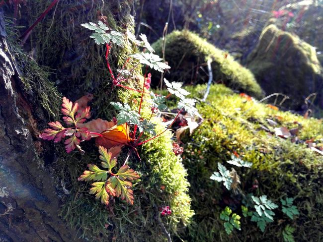 Plant Nature Moss Colorful Botany Autumn Autumn Leaves Autumn🍁🍁🍁 Luxembourg Beauty In Nature