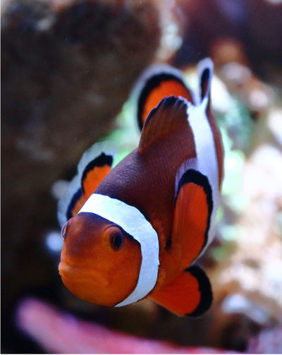 ClownFishes Nemo Animal Themes Animal Wildlife Animals In The Wild Aquarium Close-up Clown Fish Clownfish Coral Fish Day Fish Focus On Foreground Indoors  Nature No People One Animal Reef Reeftank Sea Sea Life Swimming UnderSea Underwater Water
