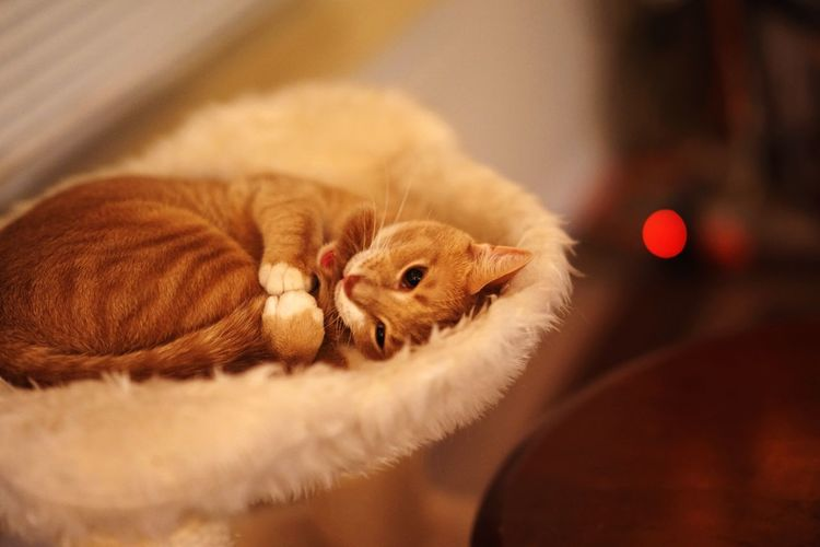 Close-up of ginger cat relaxing