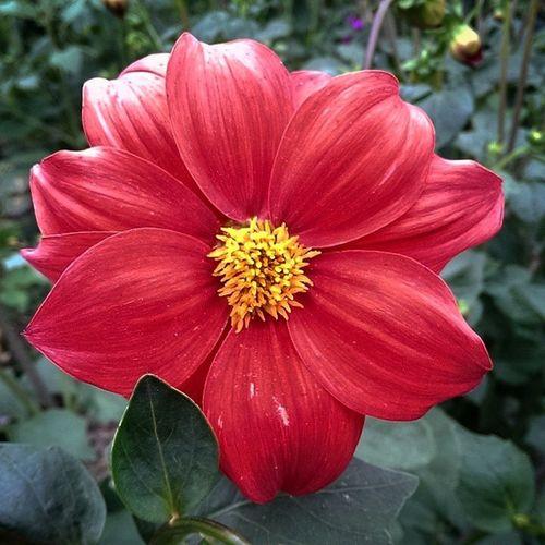 Flower Red Yellow Beautiful summer amazing ?????