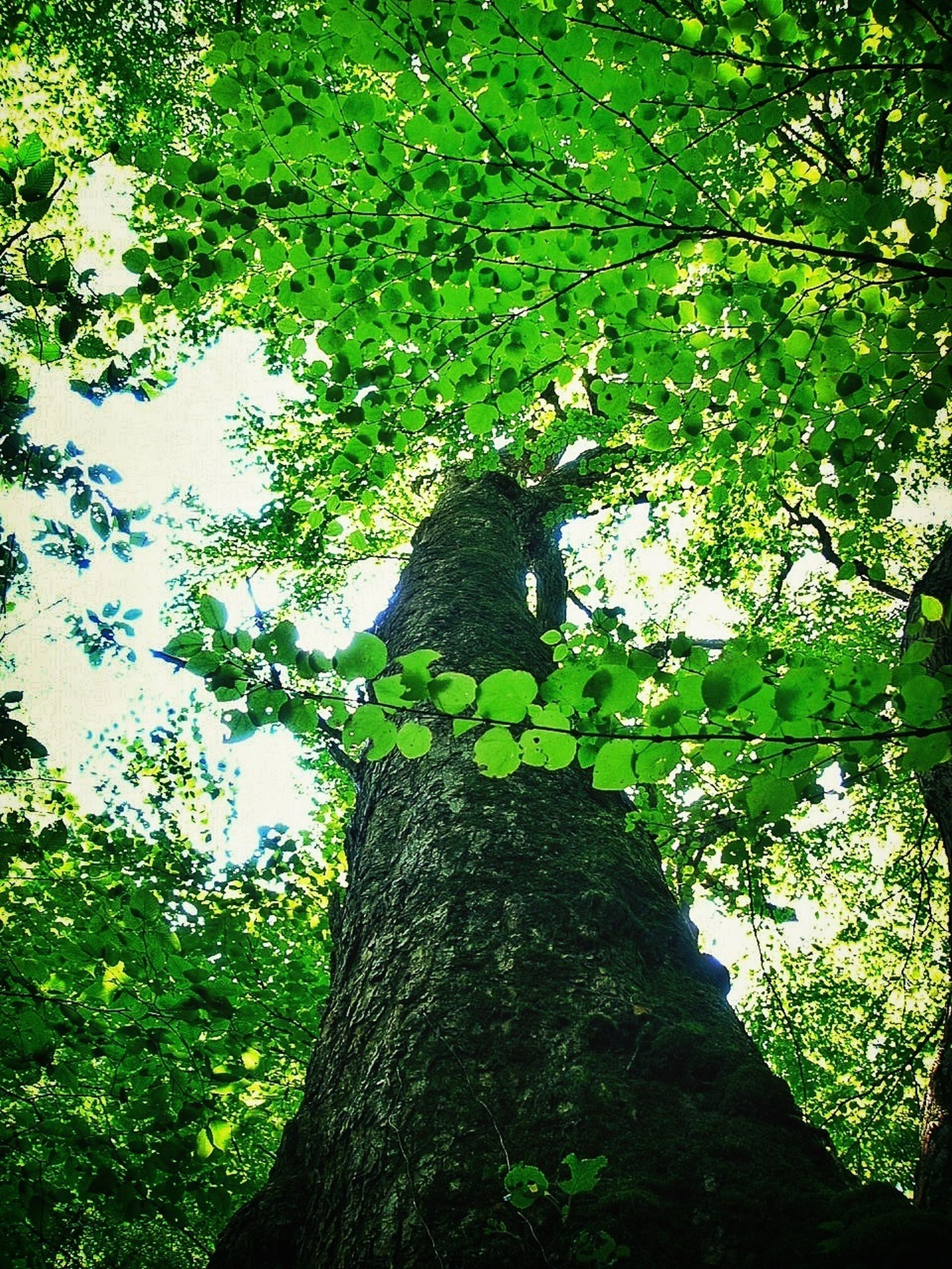 tree, green color, growth, tree trunk, branch, nature, low angle view, tranquility, wood - material, leaf, moss, plant, beauty in nature, textured, outdoors, green, day, no people, sunlight, forest