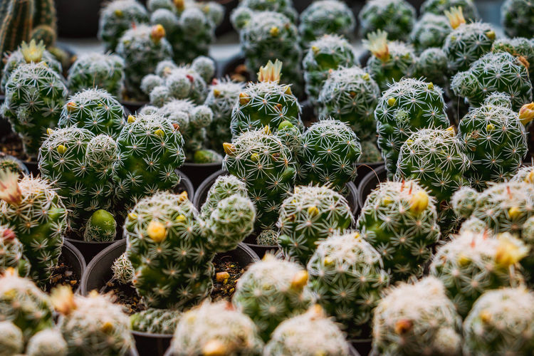 A range of small cactus plants in pots for sale Barrel Cactus Beauty In Nature Botany Cactus Close-up Day Full Frame Green Color Growth Natural Pattern Nature No People Outdoors Plant Plant Nursery Potted Plant Selective Focus Sharp Spiked Succulent Plant Thorn