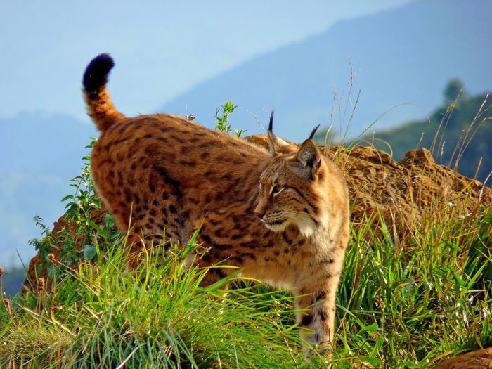 Animal Themes Animal Wildlife Animals In The Wild Beauty In Nature Cheetah Day Feline Grass Leopard Lince Love Nature Low Angle View Mammal Nature No People One Animal Outdoors Safari Animals Sky Zoology
