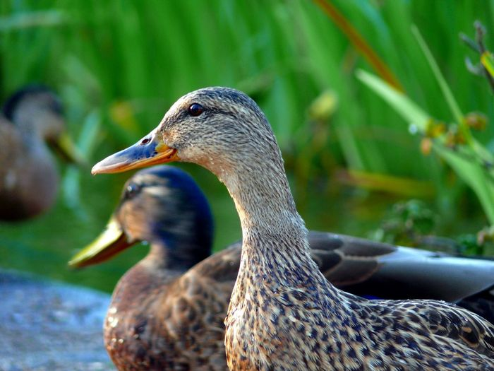 Close-up of Ducks Swimming at Pond | 2015  Animal Body Part Animal Themes Animals In The Wild Beak Bird Close-up Colour Image Day Duck Focus On Foreground Horizontal Nature No People Outdoors Photography Pond Swimming Three Animals Wildlife