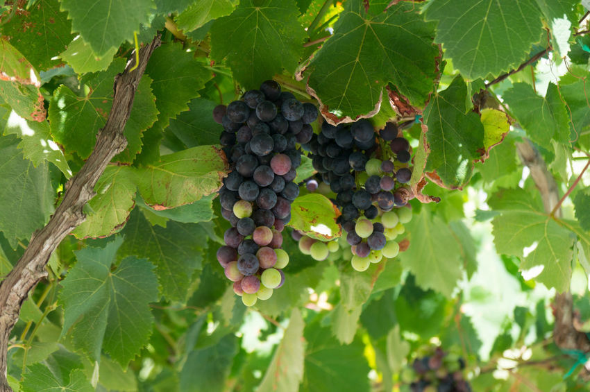 Portugal 2017 Algarve Atlantic Holiday Portugal Travel Agriculture Close-up Destination Food And Drink Freshness Fruit Grape Green Color Growth Hanging Leaf Nature Ocean Outdoors Plant Sea Summer Vineyard Winemaking