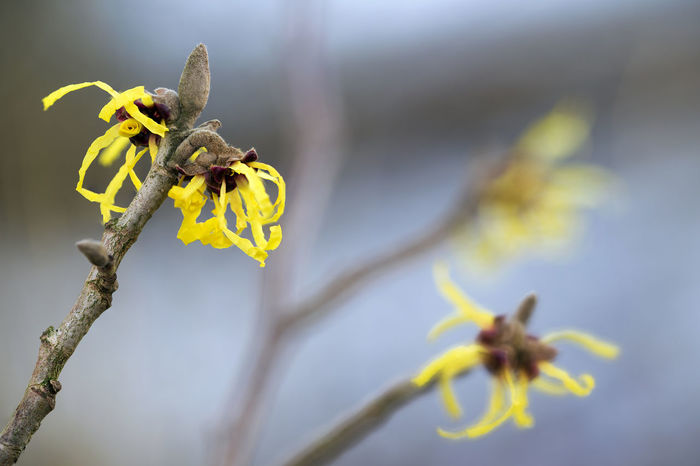blooming witch hazel (hamamelis mollis), yellow winter flowers on the branches of the natural medicine plant, blue sky background Winter Beauty In Nature Blooming Close-up Day Flower Flower Head Fragility Growth Nature No People Outdoors Petal Witch Hazel Yellow