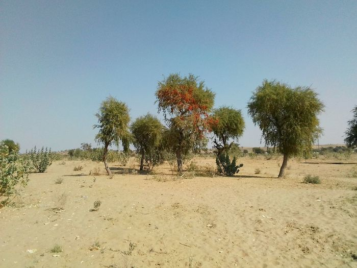 Desert landscape Rajasthan India Landscape_photography Colourful Rajasthan Desert Landscape Trees Desrt Scenes Tree Nature Clear Sky Day Sky Outdoors No People Beauty In Nature Landscape