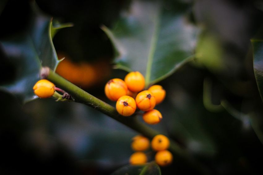 Holly in the Wood Fruit Growth Tree Food Focus On Foreground No People Freshness Outdoors Nature Day Beauty In Nature Close-up Leaf Branch