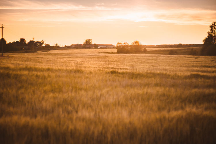 A wheat field at sunset. rural summer background