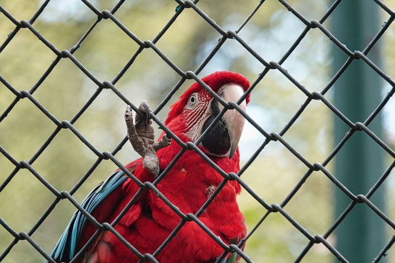 Parrot Bird Chainlink Fence Vertebrate Red Fence Cage Animals In Captivity One Animal Beak Boundary Barrier No People Animal Themes Day Metal Animal Security Focus On Foreground Nature Animal Wildlife