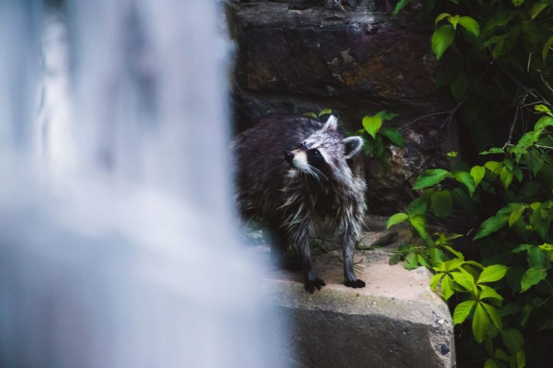 View of a raccoon