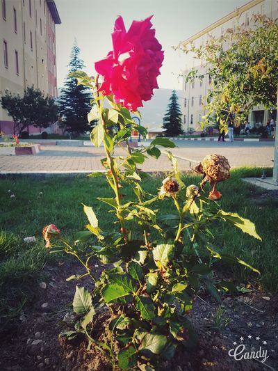 Hello World ✌ Hi! ☺ Good Morning Flower Collection Naturelovers No People Beautiful Red Rose 🌹 Taking Photos That's Me Fnished School ✌