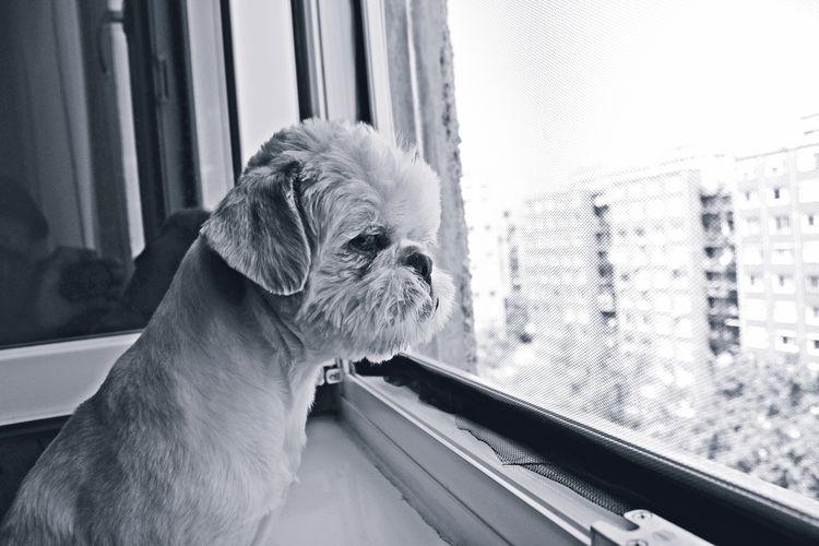 Close-Up Of Shih Tzu Dog Looking Through Window