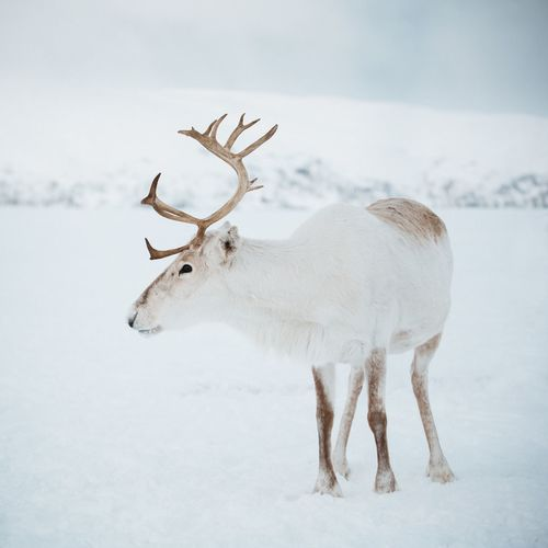 Another reindeer Snow Winter Cold Temperature Animal Animal Themes Animal Wildlife Mammal Reindeer Deer Animals In The Wild Nature Antler White Color No People One Animal Vertebrate Sky Environment Outdoors Herbivorous