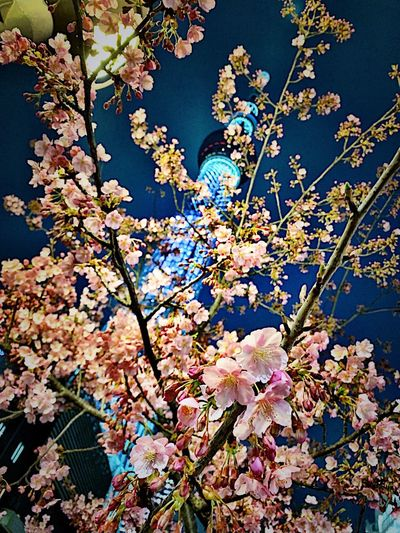 Japan Tokyo Sakura Skytree Beauty In Nature Flowering Plant Nature Day Plant Flower Growth Fragility Freshness Vulnerability  No People Tree High Angle View Outdoors Autumn Plant Part Blossom Branch Springtime Cherry Blossom